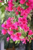 Różowi bougainvillea kwiaty Fotografia Royalty Free