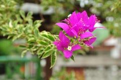 Różowi bougainvillea kwiaty.  Ornamentacyjne pięcie rośliny. Fotografia Royalty Free
