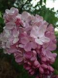 Różowi bzów kwiaty obrazy stock