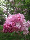 Różowi bzów kwiaty zdjęcia royalty free
