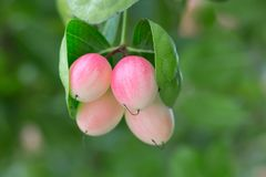 Różowi carissa carandas z liśćmi Obrazy Stock