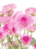 Różowi chryzantemy zbliżenie. Obraz Royalty Free