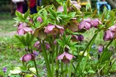 Różowi ciemierników kwiaty wzrostowi w wiosna ogródzie fotografia royalty free