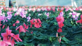 Różowi cyklamenów kwiaty kultywujący w dużej szklarni zdjęcie wideo