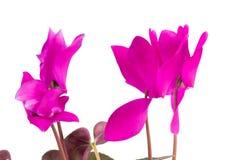 Różowi cyklamenów kwiaty z zielonymi liśćmi odizolowywającymi na białym backgr Zdjęcia Stock