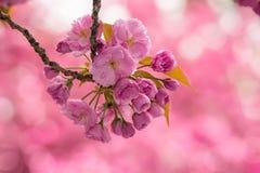 Różowi czereśniowego okwitnięcia kwiaty Obraz Royalty Free