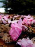 Różowi czereśniowego okwitnięcia płatki kłaść na ziemi barkentyna Fotografia Stock