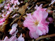 Różowi czereśniowego okwitnięcia płatki kłaść na ziemi barkentyna Zdjęcie Royalty Free