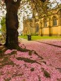 Różowi czereśniowego okwitnięcia płatki zakrywa ziemię pod Sakura drzewem na zewnątrz Machester katedry obrazy stock