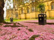 Różowi czereśniowego okwitnięcia płatki zakrywa ziemię pod Sakura drzewem na zewnątrz Machester katedry fotografia royalty free