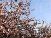 Różowi czereśniowi okwitnięcia na jaskrawym wiosna dniu Fotografia Stock
