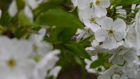 Różowi czereśniowi okwitnięcia są w pełnym kwiacie Sakura tło zbiory wideo