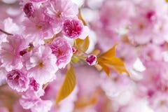 Różowi czereśniowi okwitnięcia w wiosna sadzie Fotografia Stock