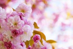 Różowi czereśniowi okwitnięcia w wiosna sadzie zdjęcia royalty free