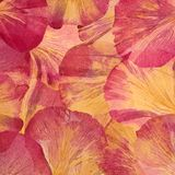 Różowi czerwoni wielcy peonia płatki na widok abstrakcyjny t?o obrazy royalty free