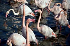 Różowi flamingi w Camargue, Francja Zdjęcie Stock