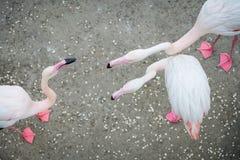 Różowi flamingi w dzikim Datowanie gier flaming zdjęcia stock