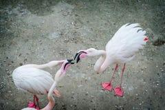 Różowi flamingi w dzikim Datowanie gier flaming obrazy royalty free