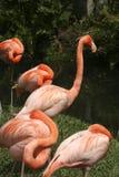 Różowi flamingi z głowami chować fotografia stock