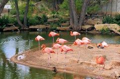 Różowi flamingi zbliżają podlewanie dziury zdjęcie stock