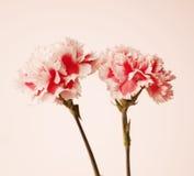 Różowi goździków kwiaty Obrazy Stock