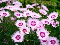 Różowi goździki Fotografia Stock