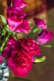 Różowi goździki z różami Idealny prezent dla valentine Obrazy Stock