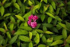 Różowi goździkowi kwiaty obraz royalty free