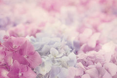 Różowi hortensja kwiaty zdjęcia stock