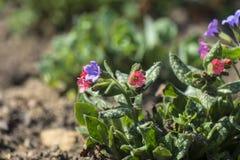 Różowi i błękitni płucników kwiaty Obraz Royalty Free