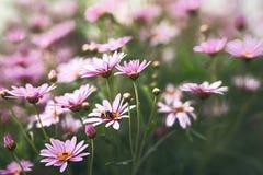 Różowi i biali kwiaty w okwitnięciu, pszczoła wśrodku flowergreen tła fotografia royalty free
