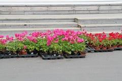 Różowi i czerwoni bodziszki w plastikowych garnkach przygotowywających dla zasadzać w kwiatu łóżku Zdjęcia Royalty Free