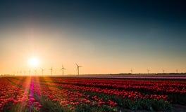 Różowi i czerwoni tulipany w polu przy wschodem słońca Fotografia Royalty Free