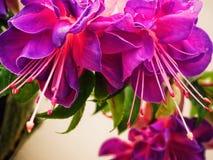 Różowi i purpurowi wiszący fuksja kwiaty Zdjęcia Royalty Free