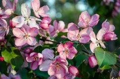 Różowi jabłczani kwiaty kwitną przy wiosną fotografia royalty free