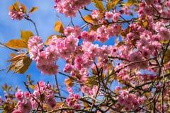 Różowi Japońscy Czereśniowi okwitnięcia w wiosny niebieskim niebie zdjęcia stock
