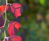 Różowi jesień liście obrazy stock