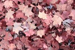 Różowi jesień liście zdjęcie royalty free