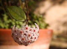 Różowi joya kwiaty, liść na winogradzie i Obraz Stock