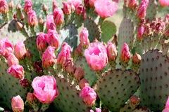 Różowi Kłującej bonkrety kaktusa kwiaty Fotografia Royalty Free