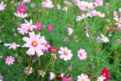 Różowi kosmosy kwitną kwitnienie w ogródzie, selekcyjna ostrość Zdjęcia Stock