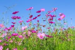 Różowi kosmosy kwitną kwitnienie w ogródzie z niebieskiego nieba backgroun Zdjęcie Royalty Free