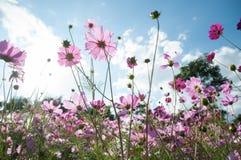 Różowi kosmosy kwitną z niebieskim niebem i biel chmurnieje Obraz Stock