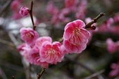 Różowi kwiatów kwiaty Japoński ume drzewo obraz stock