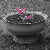 Różowi kwiatów płatki w flowerbed na czarny i biały tle obraz stock