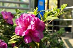 R??owi kwiaty azalie w kwiacie fotografia royalty free