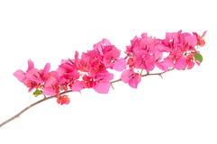 Różowi kwitnący Bougainvilleas Obraz Stock