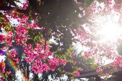 Różowi kwitnący bougainvilleas przeciw niebieskiemu niebu Zdjęcie Royalty Free