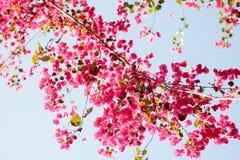 Różowi kwitnący bougainvilleas przeciw niebieskiemu niebu fotografia royalty free