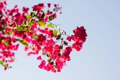 Różowi kwitnący bougainvilleas przeciw niebieskiemu niebu Obraz Royalty Free